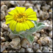 Rock Climbing Photo: Wallace's wooly daisy. Photo by Blitzo.