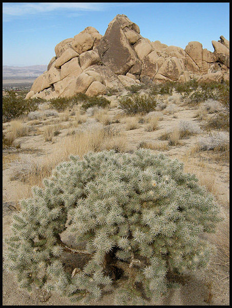 Silver Cholla and Big Top.<br> Photo by Blitzo.