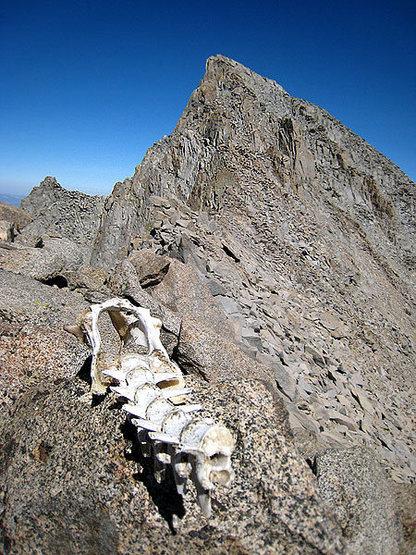 Rock Climbing Photo: deer skeleton below Mt Sill