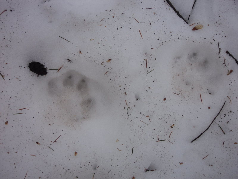 Possible cat prints on the way down?