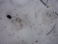 Rock Climbing Photo: Possible cat prints on the way down?