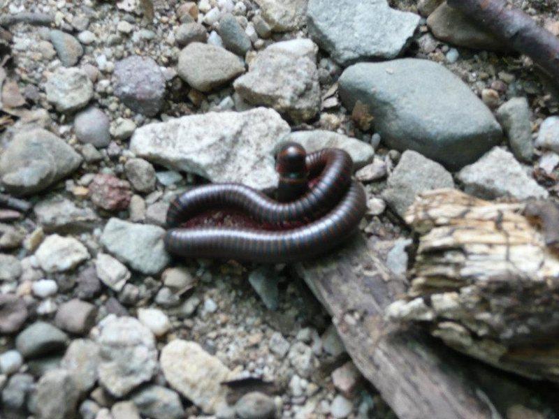 Rock Climbing Photo: millipede coitus