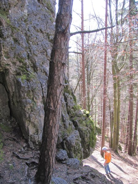 Climber looking at the start of Beerenweg. The route right next to this tree is an unnamed 4-.