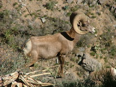 Rock Climbing Photo: Big Horn at the Mouse