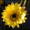 Yellow cereus flower.<br> Photo by Blitzo.