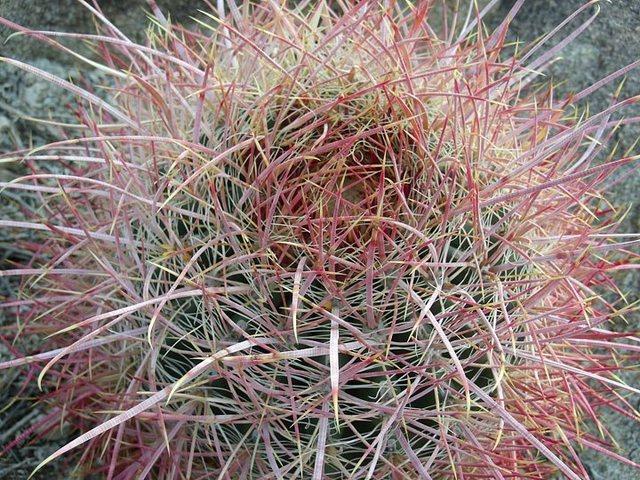 Rock Climbing Photo: Flourescent Cactus