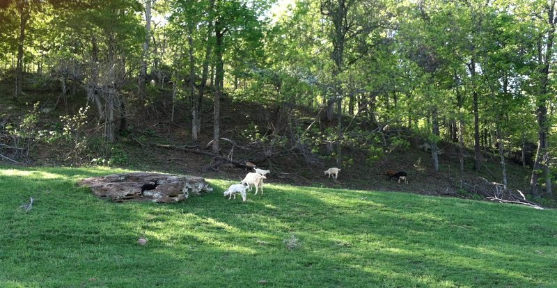 Rock Climbing Photo: Goats.