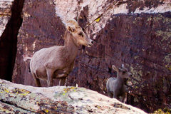 Rock Climbing Photo: Big Horn sheep at the base of Crimson, last weeken...