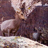 Big Horn sheep at the base of Crimson, last weekend.
