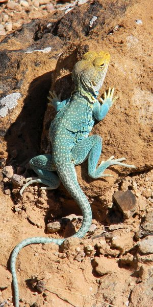 The common collared lizard (<em>Crotaphytus collaris</em>) guards the approach to the Interiors Wall.