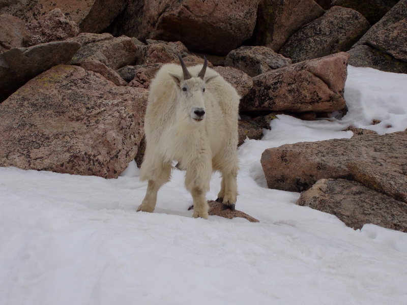 Rock Climbing Photo: Mountain goat, Mt Evans