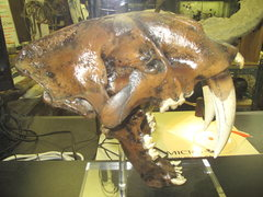 Rock Climbing Photo: sabertooth tiger skull