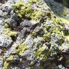 chimney lichen up close and personal