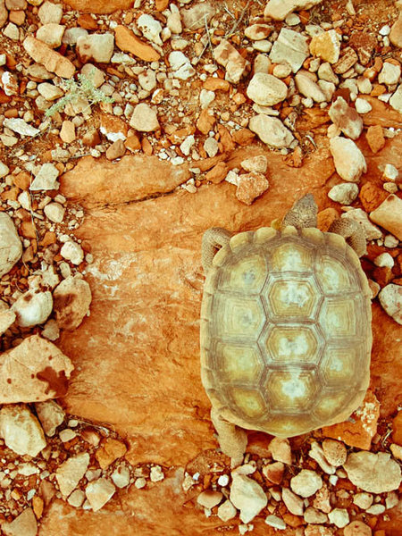Found!  Tortoise on the loose...