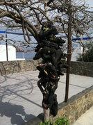 Rock Climbing Photo: Thrashed climbing shoe tree at the climbers bar.