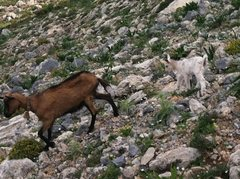 Rock Climbing Photo: Goats everywhere!  There might be more goats on th...