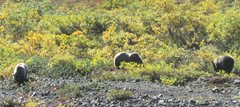 Rock Climbing Photo: Just a few of the many Grizzlies we saw while hiki...