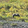 Just a few of the many Grizzlies we saw while hiking in Denali NP. No wonder why most folks stay on the busses. ; ) <br> <br> The bears were too busy loading up on berries, to pay us any attention. We made sure we kept a healthy distance, just in case we started to look more appetizing than the berries. : )<br> <br> August 2011