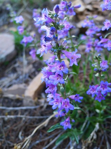 Penstemon secundiflorus on Shadow Canyon trail.