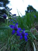 Rock Climbing Photo: Delphinium nuttallianum on Shadow Canyon trail.