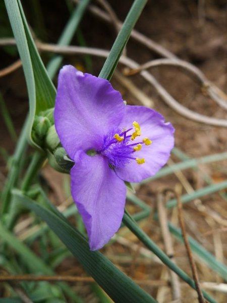 <em>Tradescantia occidentalis</em> (western spiderwort).