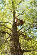 Rock Climbing Photo: Climbing the tree to the tyrolean