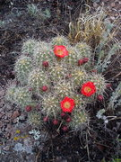 Rock Climbing Photo: Penitente Canyon cactus flowers