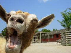 Rock Climbing Photo: crotchety ol' goat