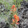 Blooming after the rain.  Indian paintbrush.