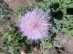 Rock Climbing Photo: Blooming after the rain.  Thistle.