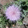 Blooming after the rain.  Thistle.