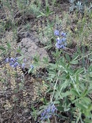 Rock Climbing Photo: Blooming after the rain. Vetch?