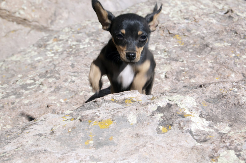 The Rock climbing chihuahua Piper
