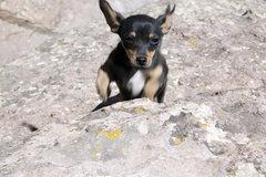 Rock Climbing Photo: The Rock climbing chihuahua Piper