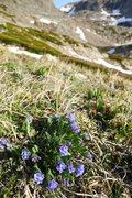 Rock Climbing Photo: Mertensia alpina (alpine bluebells).