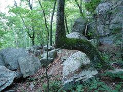 Rock Climbing Photo: Angels and Demons land mark tree