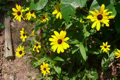 Rock Climbing Photo: brown eyed susan.