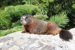 Rock Climbing Photo: marmot