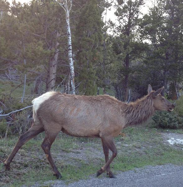 Rock Climbing Photo: Elk