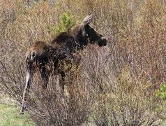 Rock Climbing Photo: Moose (more of a wildlife safari than a climbing t...