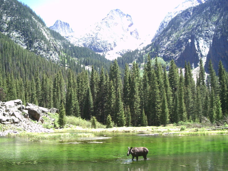 A young moose feeding off the pond on the way to Vestal Basin.  Vestal, Arrow, and Electic Peak in the background.