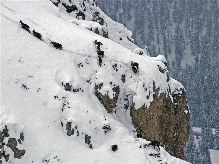 Rock Climbing Photo: Mountain goats