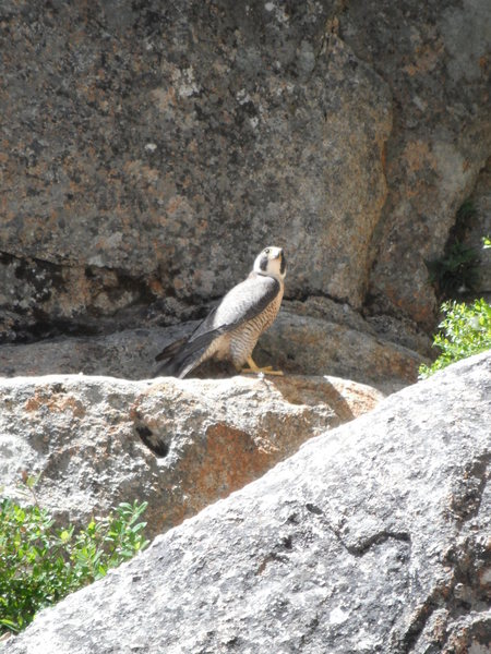 Rock Climbing Photo: Peregrine falcon @top of P2.  Her chicks were real...