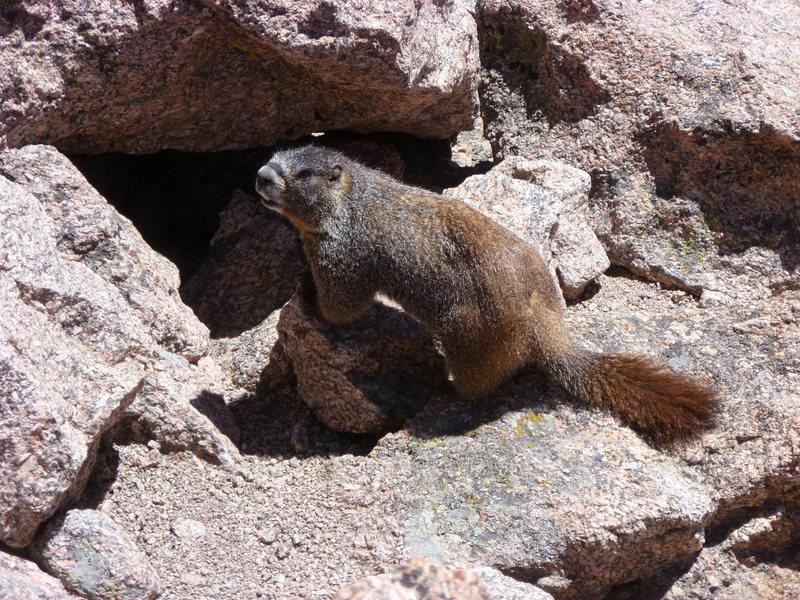 Rock Climbing Photo: Marmot, Longs summit.