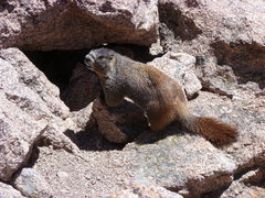 Rock Climbing Photo: Marmot, Longs summit.
