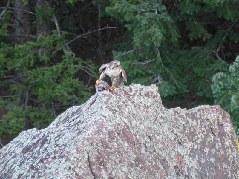Rock Climbing Photo: Raptor on S. Dino Egg eating something. Taken by J...