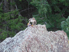 Rock Climbing Photo: Raptor on S. Dino Egg eating something. Taken by J...