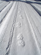 Rock Climbing Photo: Tracks of our neighborhood kitty. Probably why we ...