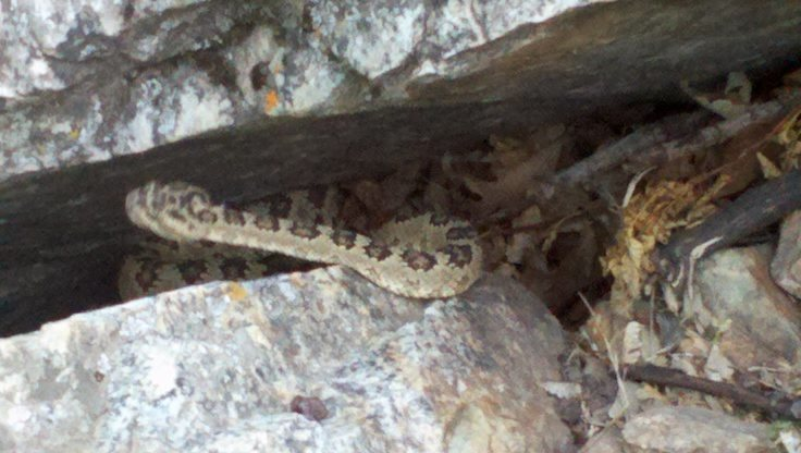 Storm Mountain picnic area rattlesnake
