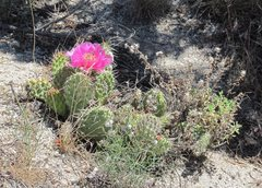 Rock Climbing Photo: Blooming cactus.